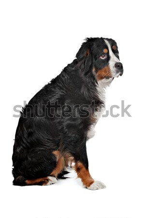 mixed breed dog Bernese Mountain dog Stock photo © eriklam