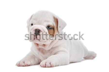 ブルドッグ 子犬 かわいい 階 孤立した 白 ストックフォト © eriklam