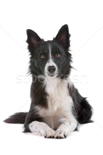 Photo stock: Border · collie · chien · de · berger · isolé · blanche · chien · frontière