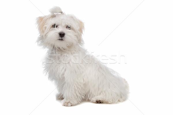 Bianco cane studio pet sfondo bianco Foto d'archivio © eriklam