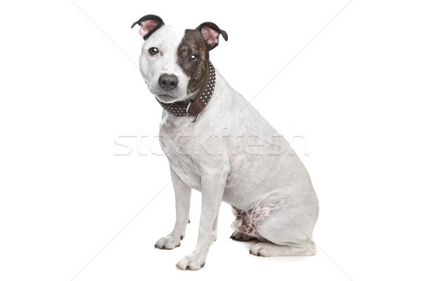 staffordshire terrier Stock photo © eriklam