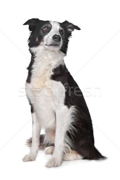 Бордер колли овчарка белый собака фон белом фоне Сток-фото © eriklam