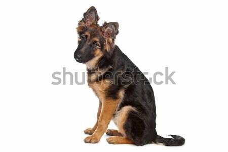 German Shepherd puppy Stock photo © eriklam
