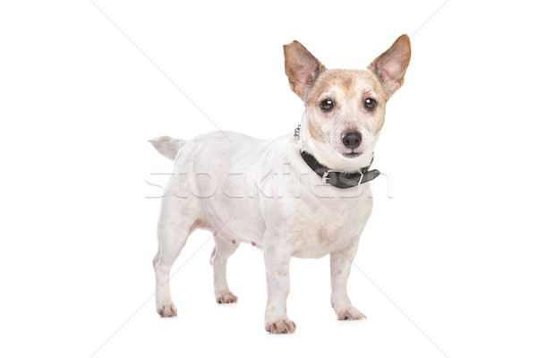 Stock photo: Jack russel terrier