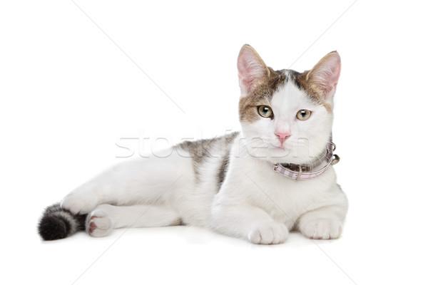 short-haired cat Stock photo © eriklam