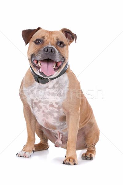 Bika terrier fehér kutya díszállat izolált Stock fotó © eriklam