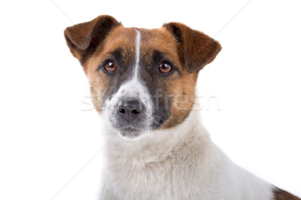 Head  of Jack russel terrier dog  Stock photo © eriklam