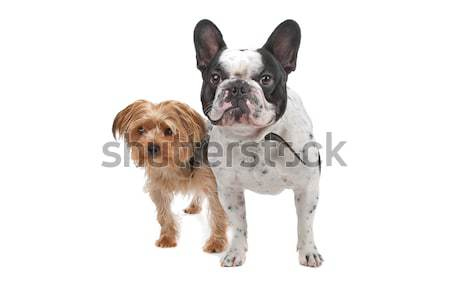 French Bulldog and a Yorkshire Terrier Stock photo © eriklam