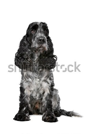 Dark blue roan Cocker Spaniel Stock photo © eriklam