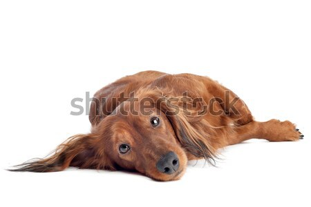 Dachshund in front of a white background Stock photo © eriklam