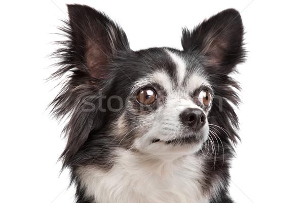 Cão mamífero pequeno pequeno doméstico Foto stock © eriklam