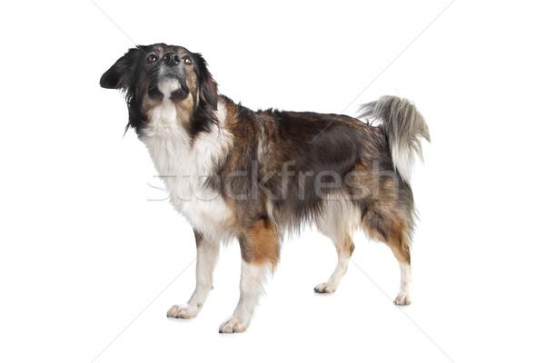 Gemischte Rasse Hund weiß Hintergrund Tier Stock foto © eriklam