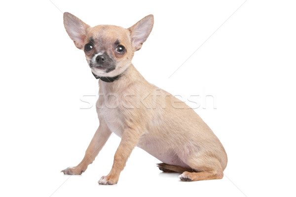 short haired chihuahua Stock photo © eriklam