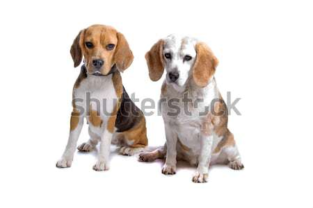 two beagle dogs Stock photo © eriklam