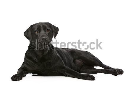 Siyah Labrador köpek beyaz hayvan evcil hayvan Stok fotoğraf © eriklam