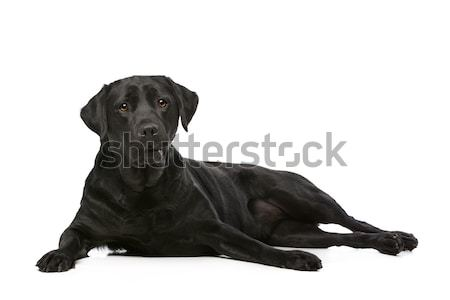 Nero labrador cane bianco animale pet Foto d'archivio © eriklam
