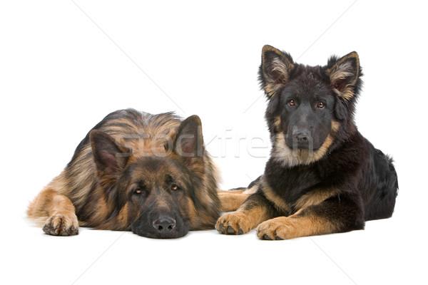 Schäfer Hund Welpen Vorderseite Ansicht ruhend Stock foto © eriklam