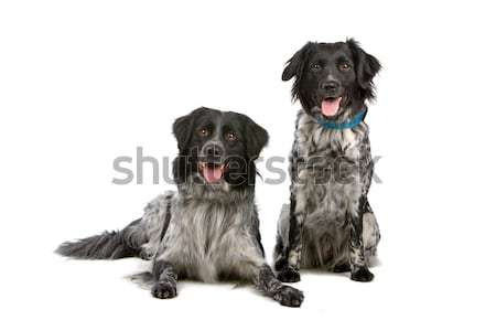 two frisian water dogs  Stock photo © eriklam