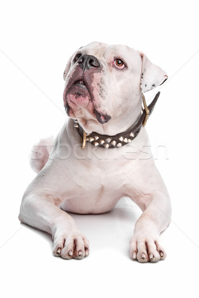 Stock photo: American Bulldog