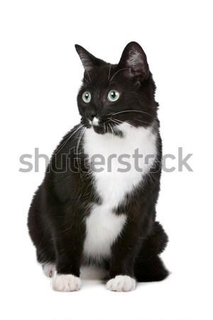 Macska fehér háttér stúdió aranyos emlős Stock fotó © eriklam