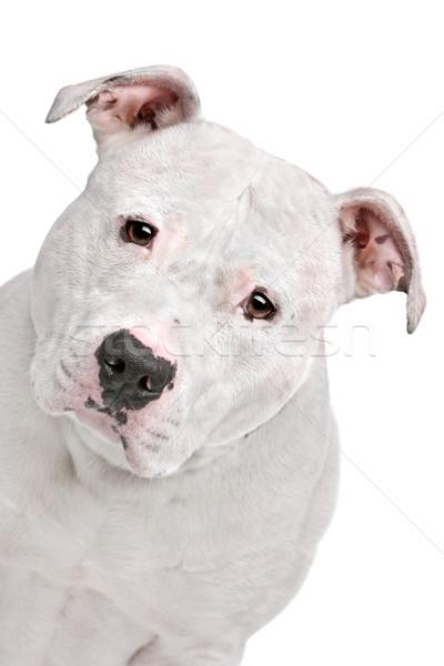 Amerikai bulldog fehér kutya stúdió erős bulldog Stock fotó © eriklam
