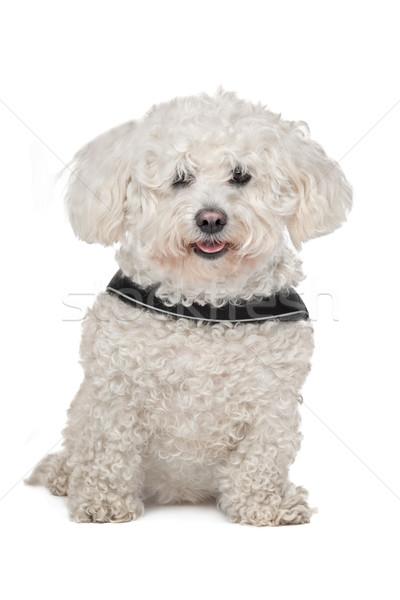 Psa biały zwierząt odizolowany ssak Zdjęcia stock © eriklam