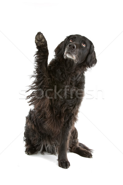 black mixed breed dog (half setter) Stock photo © eriklam