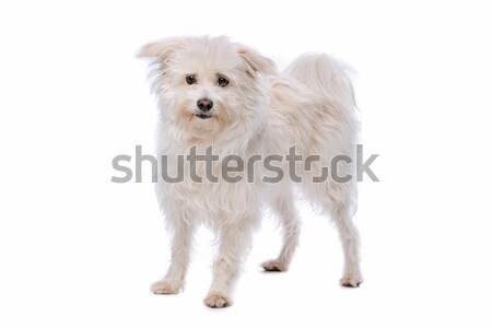 white Mixed breed dog Stock photo © eriklam