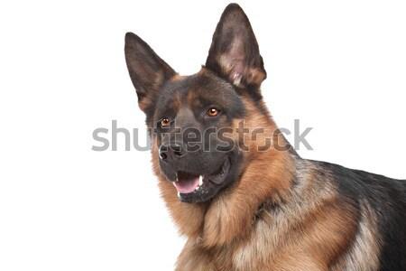 Сток-фото: пастух · белый · собака · фон · животного · ПЭТ
