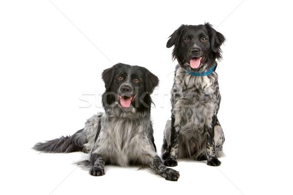 Two cute Stabyhoun dogs Stock photo © eriklam