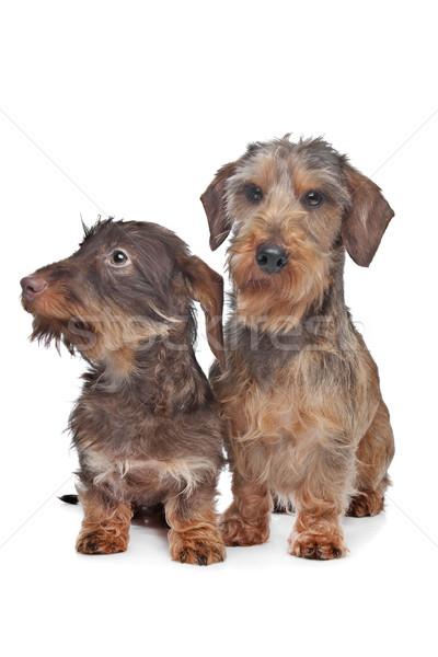 Stockfoto: Twee · miniatuur · teckel · honden · witte · samen