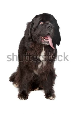 Newfoundland (dog) Stock photo © eriklam