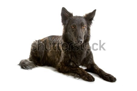 Hosszú hajú holland juhász kutya fekszik izolált Stock fotó © eriklam