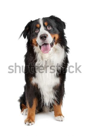 Bernese mountain dog isolado branco fundo retrato belo Foto stock © eriklam