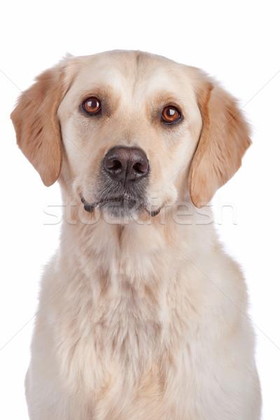 Labrador retriever isolado branco cão mamífero Foto stock © eriklam