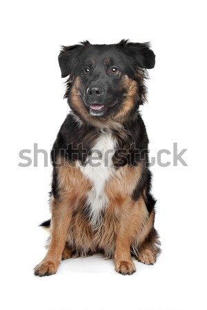 Finnish Lapphund in front of a white background Stock photo © eriklam