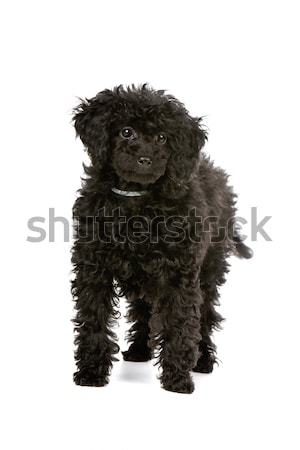 Labradoodle Stock photo © eriklam