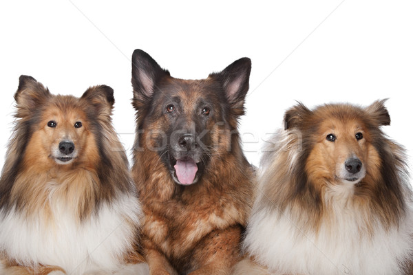 Stock photo: Two Rough Collie dogs and a German Shepherd