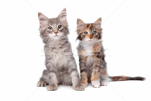 Stock photo: Maine Coon kittens