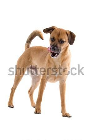 Labrador retriever kutya izolált emlős stúdiófelvétel házi Stock fotó © eriklam