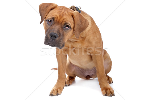 mixed breed Dogue de Bordeaux Stock photo © eriklam