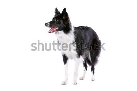 Border collie çoban köpeği yalıtılmış beyaz köpek yürüyüş Stok fotoğraf © eriklam