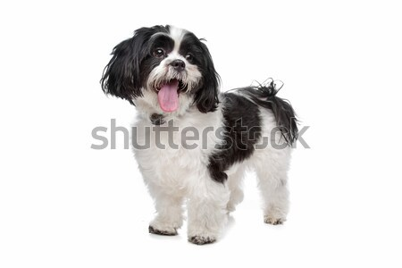 boomer, mixed breed dog Stock photo © eriklam