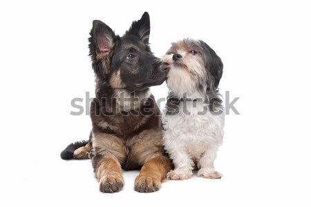 German Shepherd puppy and a boomer mixed breed dog Stock photo © eriklam