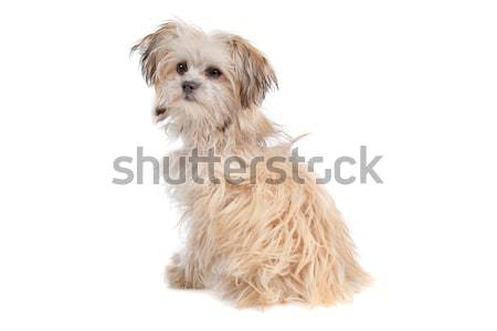 mixed breed mutt Stock photo © eriklam