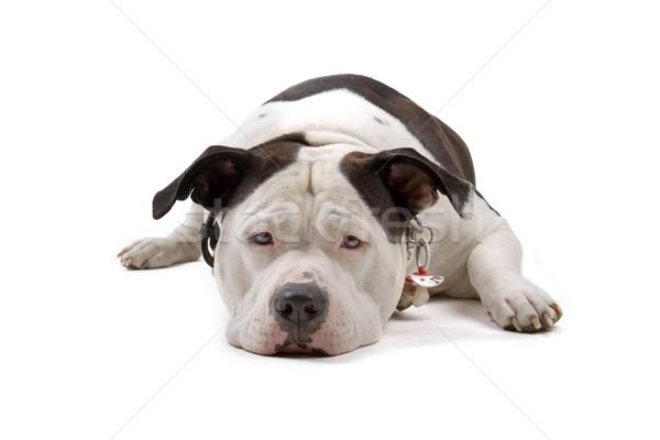Amerikai bulldog padló néz szomorú izolált fehér Stock fotó © eriklam