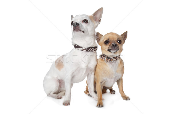 two short-haired chihuahua dogs Stock photo © eriklam
