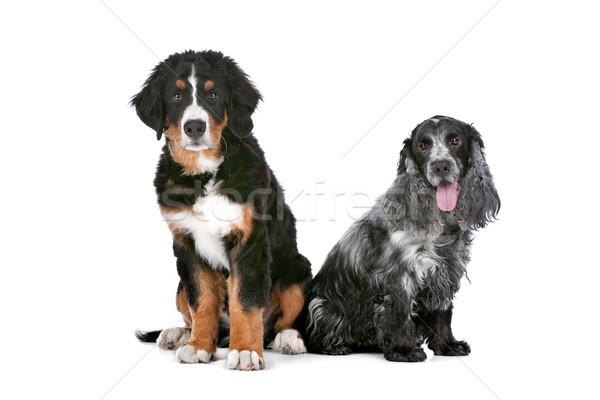 Twee honden berner sennenhond puppy hond paar Stockfoto © eriklam