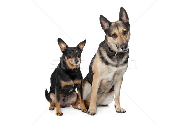 Due mista razza cani bianco Coppia Foto d'archivio © eriklam