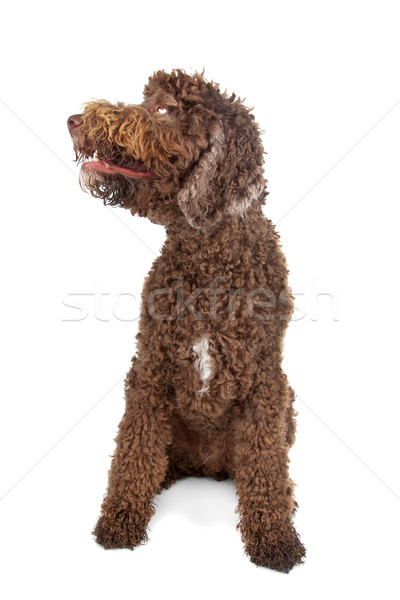 Stock photo: Labradoodle
